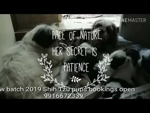 Shih Tzu Puppies Only on request in Sanjaynagar  Bangalore/Goa/Chennai/Mysore