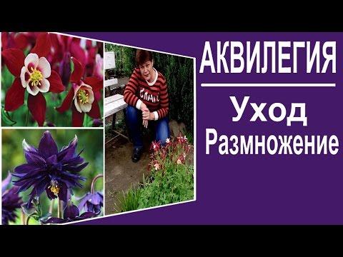 Многолетние цветы для сада. Аквилегия Уход размножение