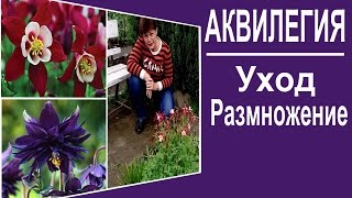 видео Цветы аквилегия посадка и уход в открытом грунте