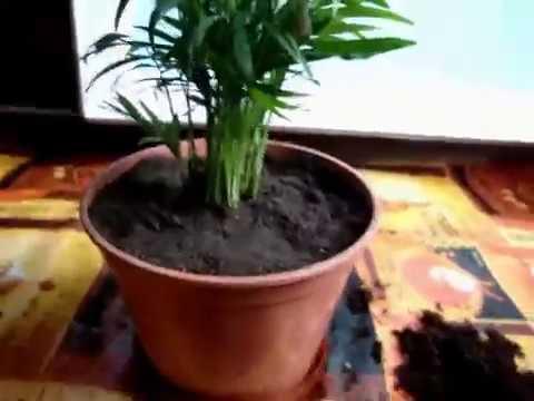 Как пересадить пальму Хамедорею изящную/Хамедорея изящная/Хамедорея Элеганс/Hamedorae Elegance