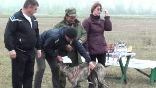 Региональная охотничья выставка собак борзых пород Борзые на Дону 2013