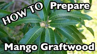 Video How to Prepare Mango Graftwood (Scions)- 2 Ways download MP3, 3GP, MP4, WEBM, AVI, FLV September 2018