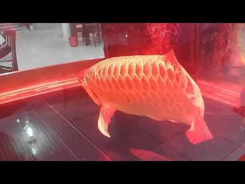 cá huyết rồng cưc hiếm
