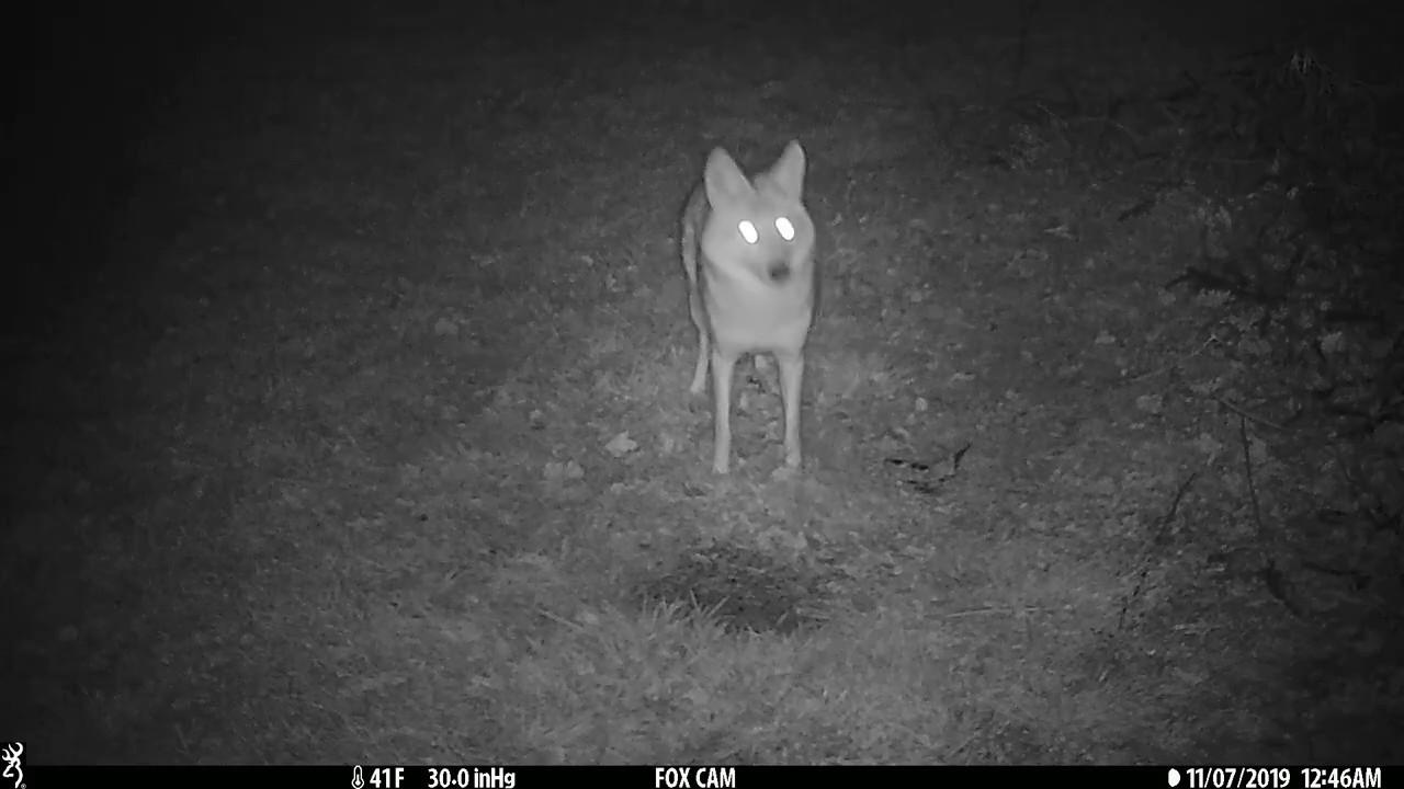 Coyote in My Backyard - YouTube