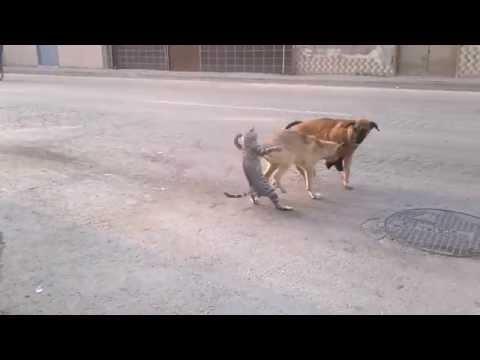 Köpeklere saldıran kedi