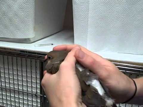 Mourning Dove Receives Care for Cat Attack
