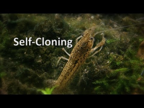 I Got Self Cloning Marble Crayfish