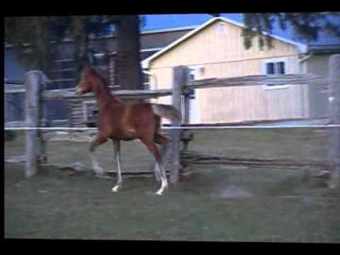 Dutch Harness Horse For Sale -Houden