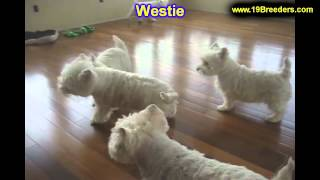 Westie, Puppies, For, Sale, In, Minneapolis, Minnesota, Mn, Inver Grove Heights, Roseville, Cottage