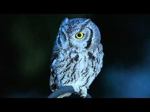 Western Screech-Owl in Backyard at Night