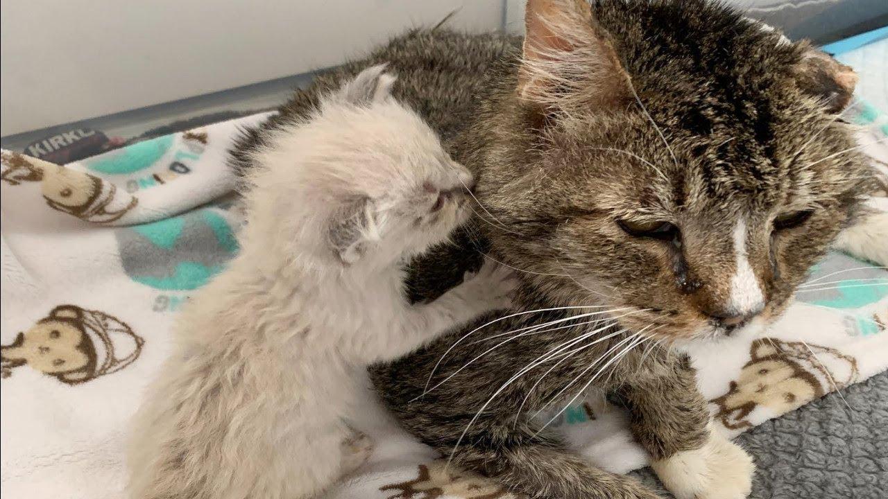 猫エイズになって家を追い出された猫。保護されて元気を取り戻すと、孤児の子猫達を癒やす存在になる【動物 感動】