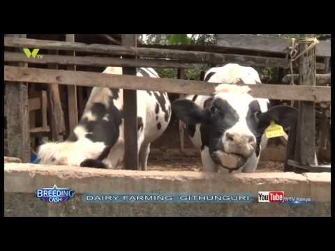 BREEDING CASH DAIRY FARMING GITHUNGURI