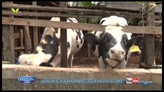 BREEDING CASH DAIRY FARMING GITHUNGURI