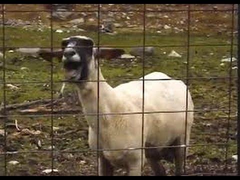 screaming goat hornbach commercial 2013 youtube