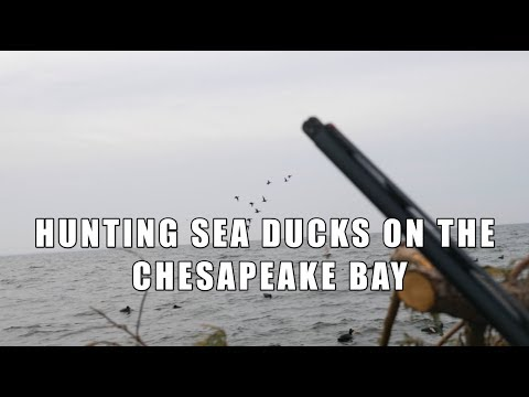 Sea Duck Hunting On The Chesapeake Bay