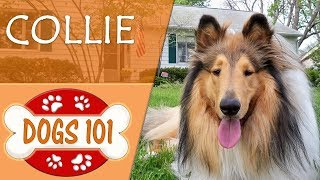 Dogs 101  COLLIE  Top Dog Facts About the COLLIE