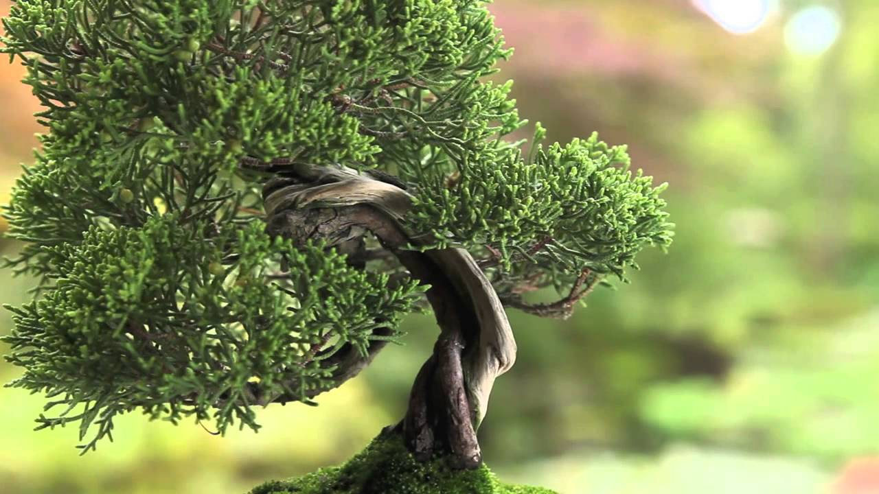 Definition And Meaning Of Bonsai Bonsai Empire