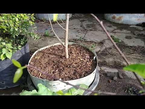 akar,-cangkokan,-media-tanam-bahan-bonsai-grounding