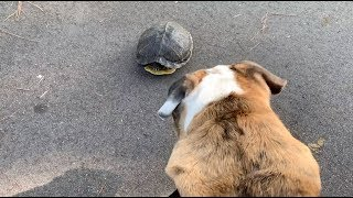 reuben-the-bulldog-the-struggle-turtle-time