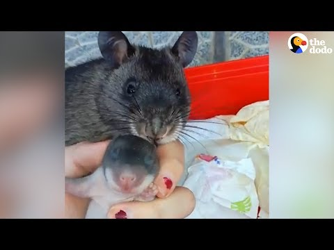 Download Youtube: Rat Shows Off Her Baby To Human Mom | The Dodo
