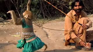 Best monkey dance - Bandriya ka dance - bandar tamasha