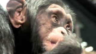 Terribly cute.! Baby Chimpanzee.チンパンジーの赤ちゃん。 ZOORASIA Y...