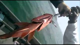 Uday Mahajan GOA Red Snapper 14.3 LBS(I created this video with the YouTube Video Editor (https://www.youtube.com/editor), 2015-11-07T08:53:15.000Z)