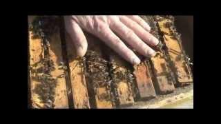 Пчелы карпатки