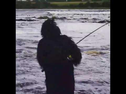 Big gorrila feeding on salmon sion mills river mourne