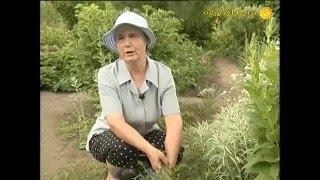видео Ольха дерево и цветы: фото и как вырастить
