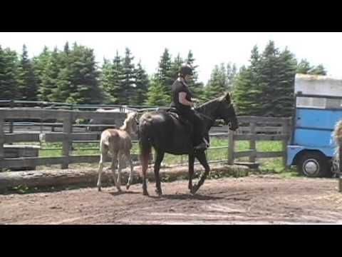 Gaited Rocky Mountain Mare For Sale In Ontario - CDs Tommie Girl - First Ride Since Foaling 2