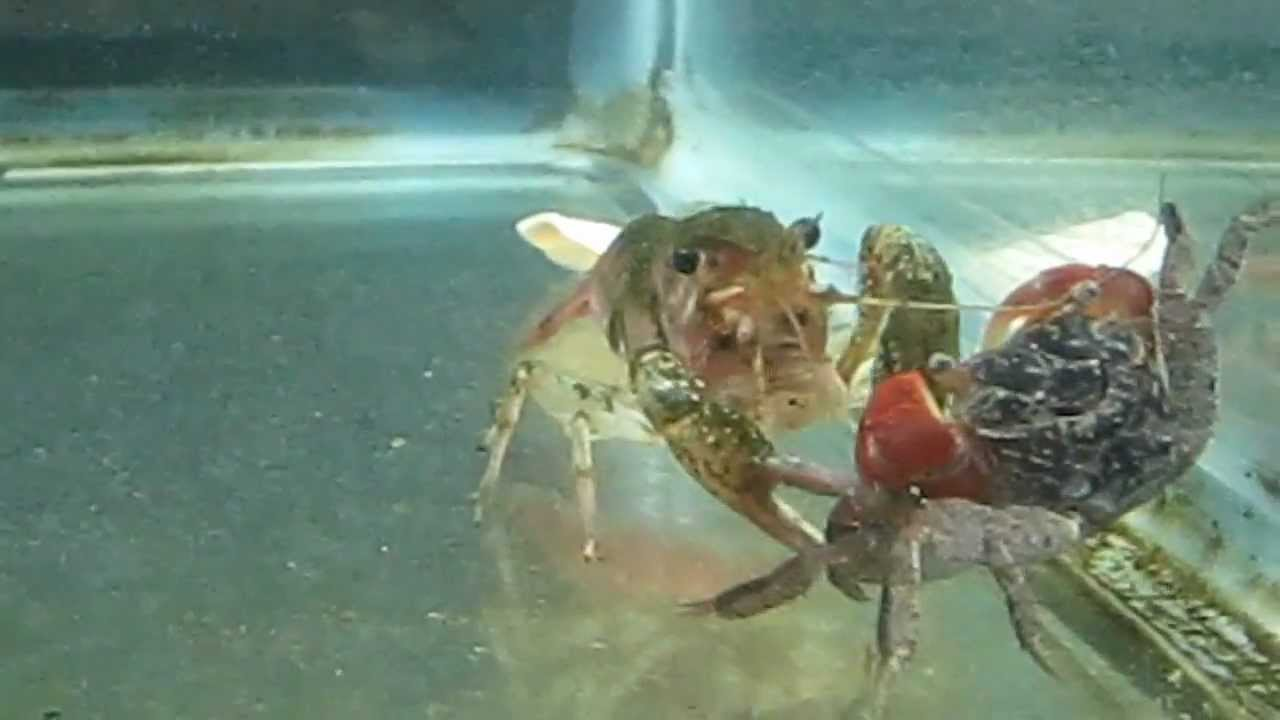 Red Claw Crab vs Crayfish - YouTube