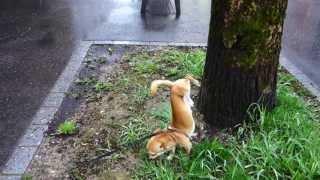 Expert-Handstand-peeing by little Dog
