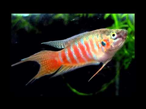 Paradise Fish Care