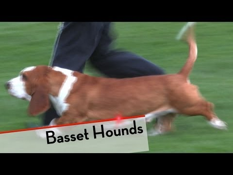 Basset Hound  Bests of Breed