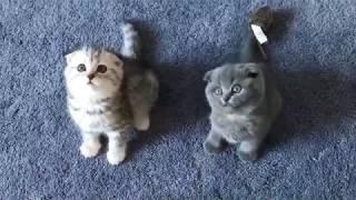 Scottish Fold Kittens Playing
