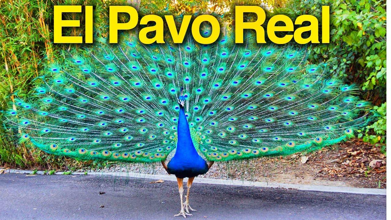 El Pavo Real - Los niños se divierten con animales del