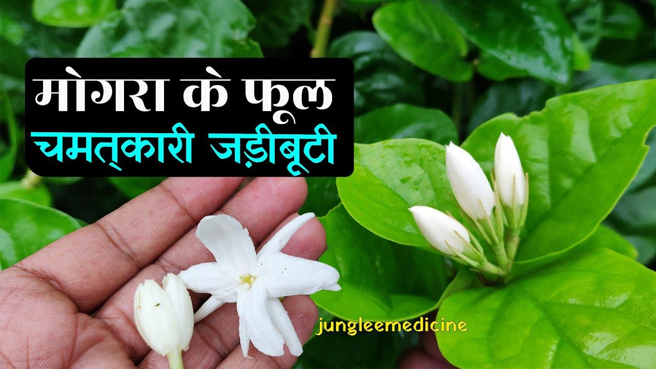 मोगरा के फूल और पौधा के ओषधीय फायदे/Jasminum sambac