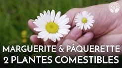 Marguerite et pâquerette, deux plantes comestibles
