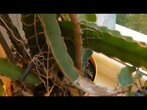 Питахайя Драконовый фрукт в домашних условиях часть 4