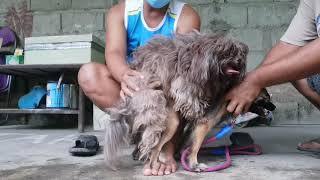 Dog mating Shih tzu and Pomeranian 1st & 2nd STUD session.