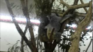 埼玉県こども動物自然公園のコアラが仲良く(?)喧嘩中。