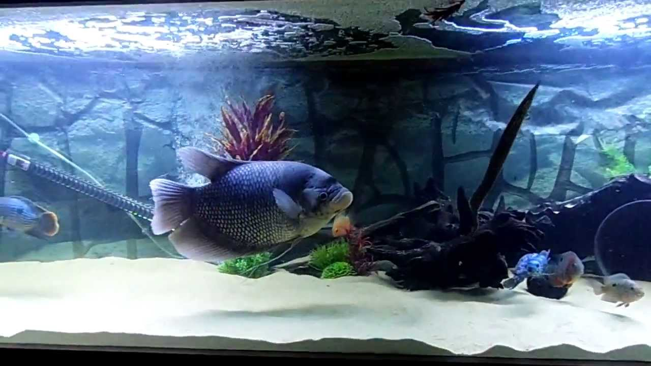 Freshwater aquarium fish lifespan - Freshwater Aquarium Fish Lifespan
