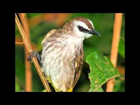 Suara Burung Trucukan