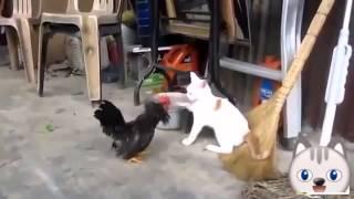 Кот против петуха-приколы с котами