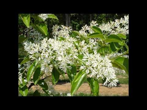 Вопрос: Растения семейства хлорантовых – это какие?