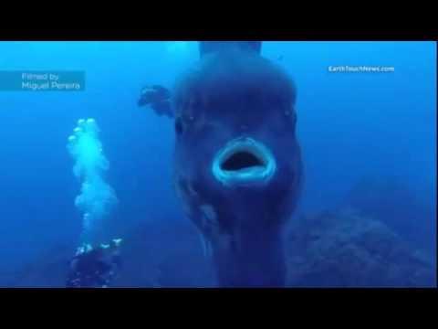 Massive Huge Sun Fish off of Portugal 15 foot plus