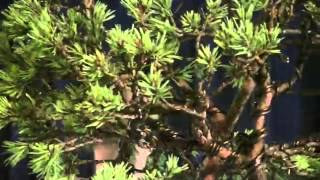 bonsai tree care.indoor bonsai tree.how to grow a bonsai tree.bonsai plants.bonsai pots