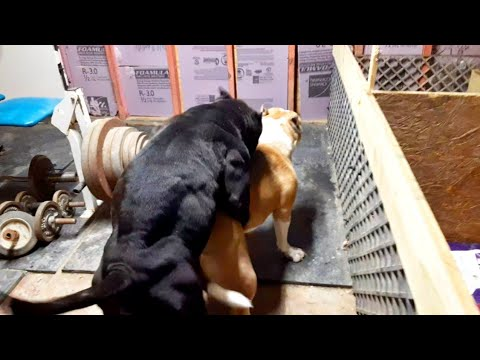 HOW TO BREED MUSCLE INTO YOUR AMERICAN BULLY PROGRAM