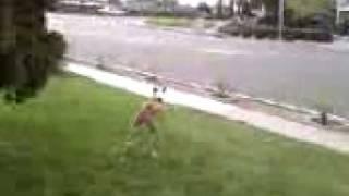 Brandi Doing Boxer Zoomies